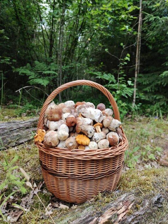 В литовских лесах появились боровики