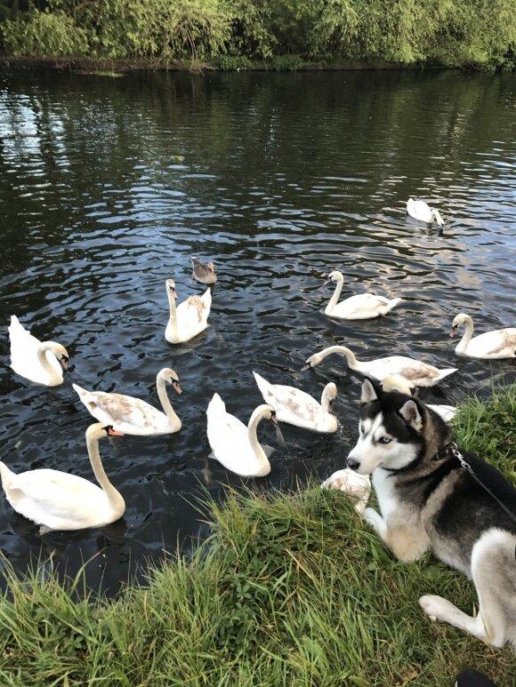 Emigravo kartu su šunimi: haskis Demonas Jungtinėje Karalystėje labai populiarus