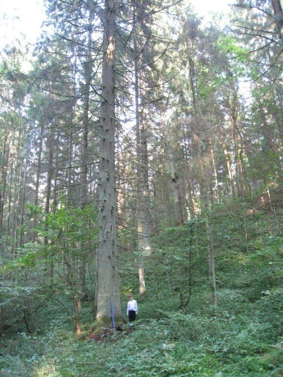 Lietuvoje yra labai aukštų eglių