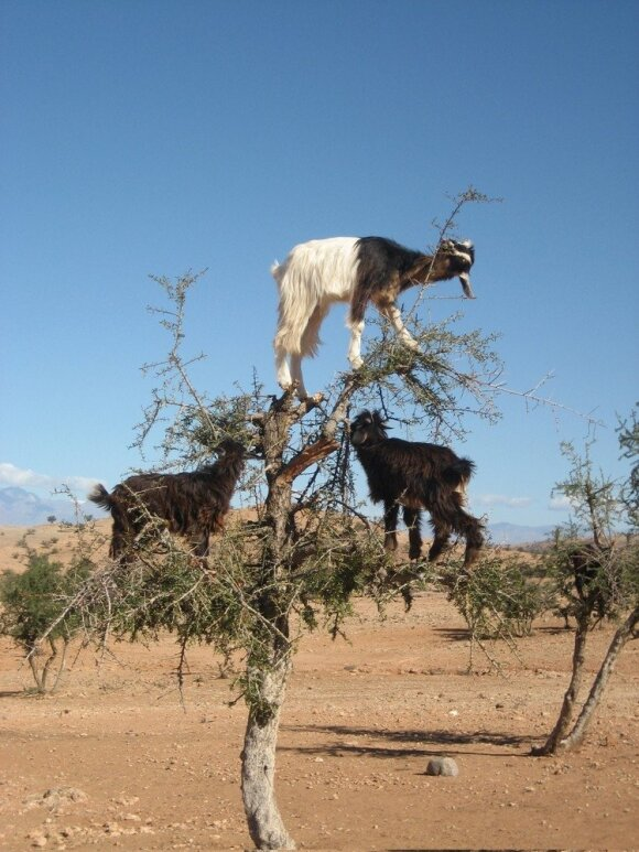 Ožkos argano medyje