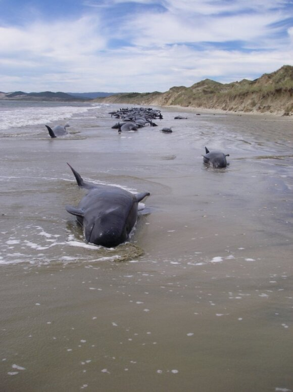 Naujojoje Zelandijoje žuvo per šimtą jūrų milžinų