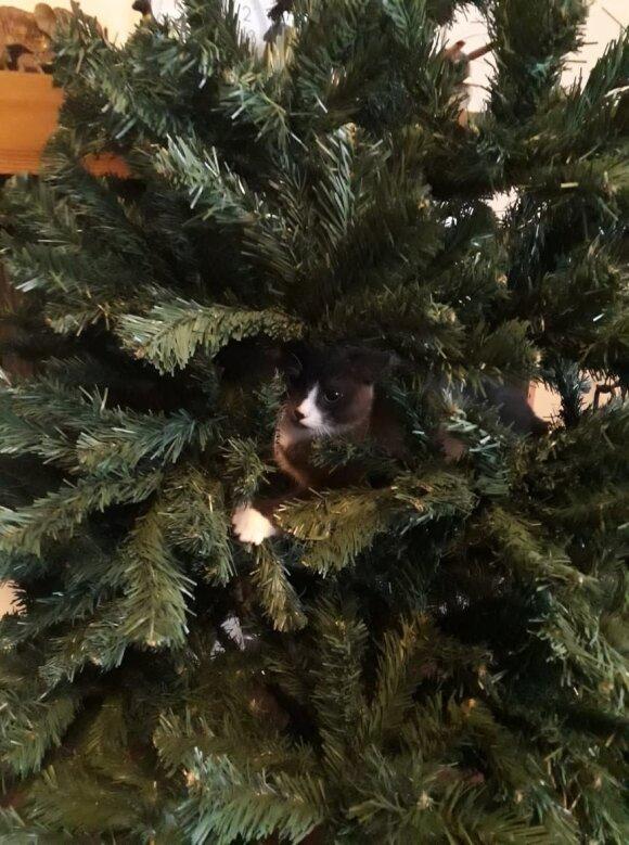 Viliaus Tarasovo katinas Pilkis