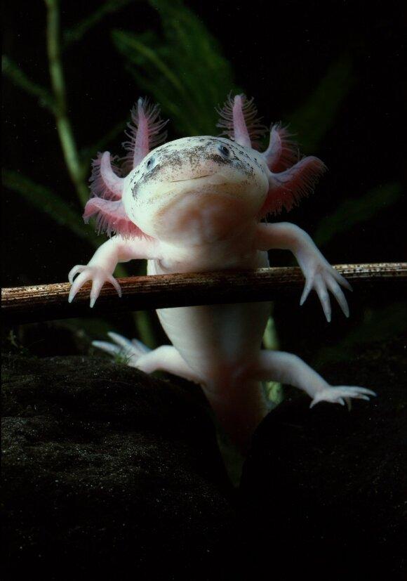 Žmonės, kaip ir salamandros, galėtų atsiauginti galūnes.