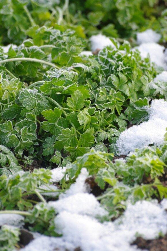 Petražolių lapeliai nebijo žiemos šalčių.