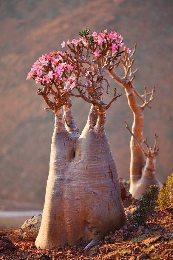 Sokotros sala (Jemenas)