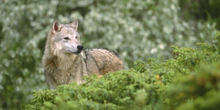 Vilkai pjauna avis: nuostoliai dvigubai didesni nei pernai