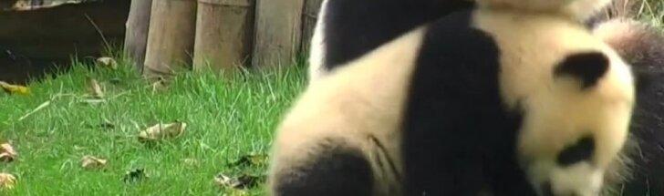 """""""Slaptas pandų gyvenimas"""" (XXXII): mamos ir prižiūrėtojo nepastebėta"""