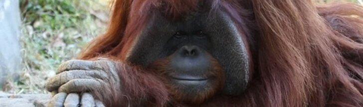 JAV nugaišo ženklų kalbą mokėjęs 39 metų orangutanas