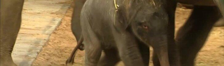 Belgijos zoologijos sode pasaulį išvydo drambliuko jauniklis