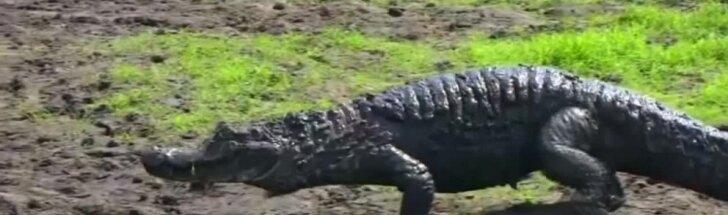 Brazilijos ekologai nuo sausros padarinių grėsmės gelbsti karves ir krokodilus