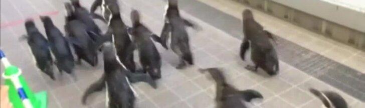 Internautus pralinksminęs vaizdelis: mažieji pingvinai išėjo pabėgioti po jūrų muziejų