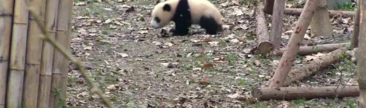 """""""Slaptas pandų gyvenimas"""" (XXII): pranoko net """"Juokingiausių Amerikos namų vaizdelių"""" epizodus"""