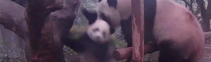 """""""Slaptas pandų gyvenimas"""" (VI): motinos pandos pamokos mažyliui"""