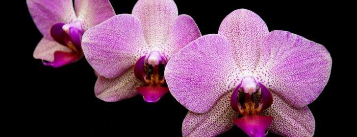 """<span style=""""color: #ff4040;"""">Išbandyta:</span> kaip priversti orchidėją žydėti"""