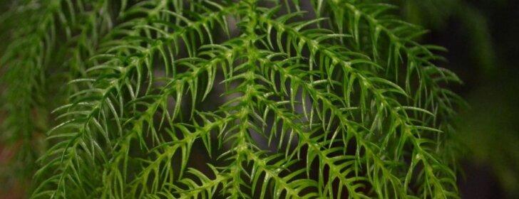 Kambarinė eglutė – aukštoji araukarija