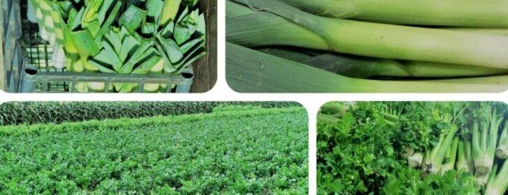 Agronomė dalijasi, kaip išsirinkti ir auginti prieskoninių daržovių daigus