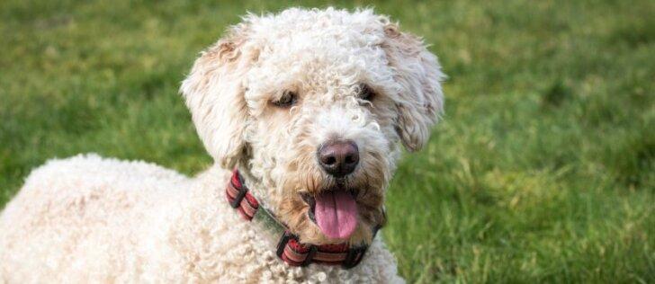 Ką reikia žinoti apie šunų dresūrą?