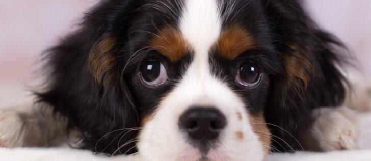 Šeimininkų galvos skausmas: kaip šuniuką išmokyti gamtinius reikalus atlikti lauke?