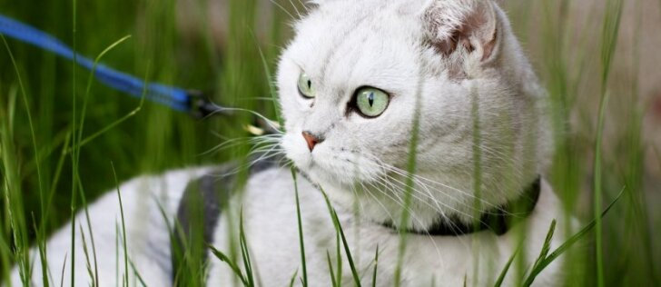 Kaip katę pripratinti prie pavadėlio?