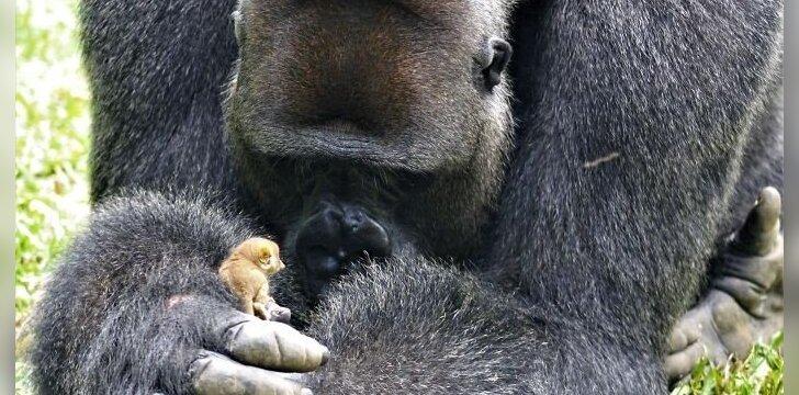 Gorilos Bobo ir galaginio draugystė