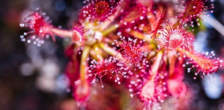 3 kambarinės gėlės, kurių prigimtis – grobuoniška