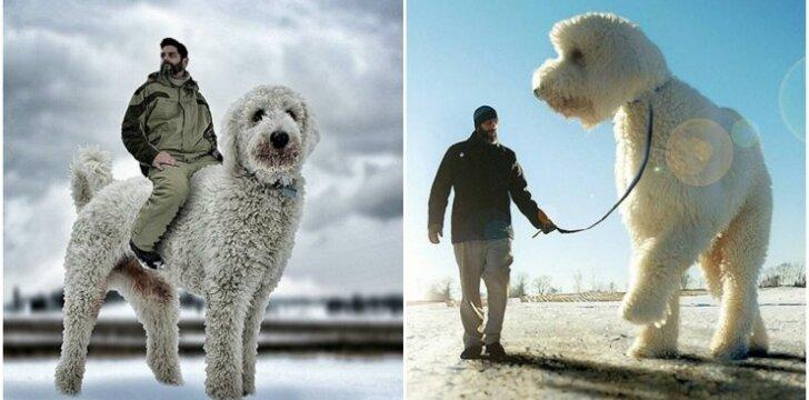 Šuo milžinas