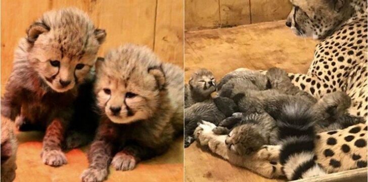 Gepardė atsivedė rekordinį skaičių jauniklių