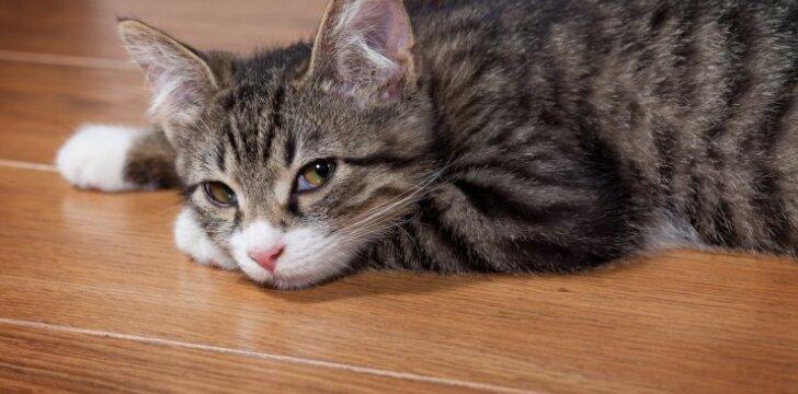 katinas ant grindų