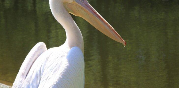 Į Lietuvą atklydęs pelikanas – vėl laisvėje