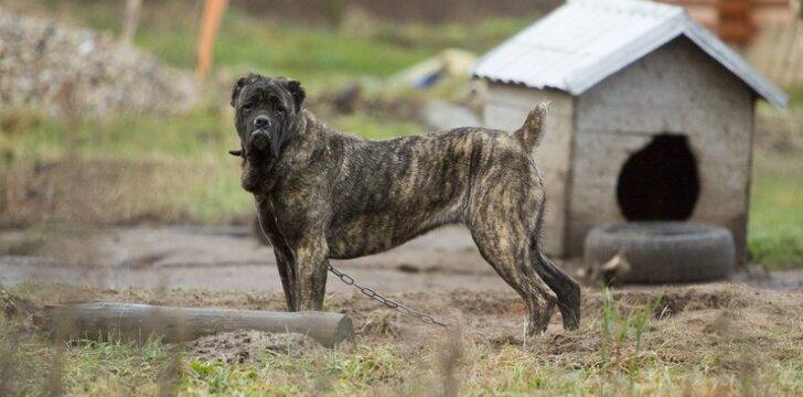 Veisliniai šunys, kurie augdami nebendrauja su žmogumi, gali užaugti agresyvūs