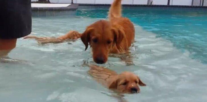 """Dienos video: <span style=""""color: #c00000;"""">pirmasis mažylių</span> bandymas plaukti"""