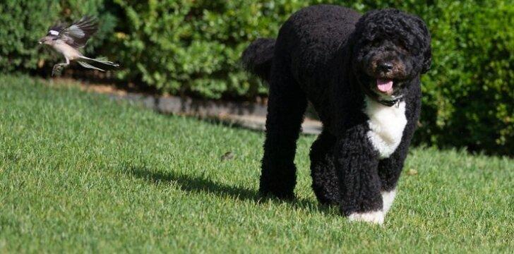 Bo - portugalų veislės šuo.