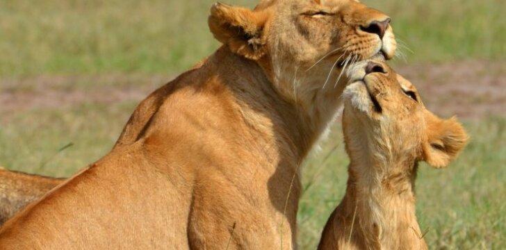 Liūtų šeimyna