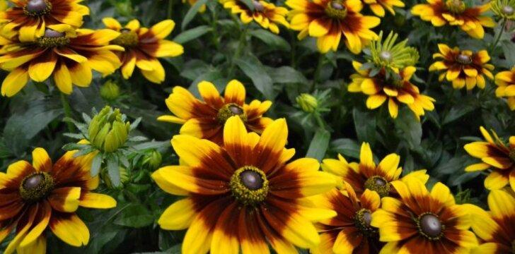 Rudbekijos yra kiek primirštos, bet vėl populiarėjančios gėlės (veislė 'Garden SmileZ').