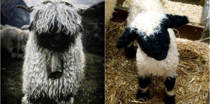Juodanosė avis