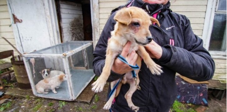 Iš Panevėžio pakraštyje esančios sodybos šungaudžiai ir gyvūnų globotojai išsivežė vienuolika šunų, bet dar nemažai jų liko pasislėpusių apleistame kieme