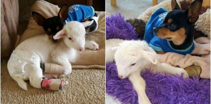 Šunelis Paddy ir avytė Lily buvo geriausi draugai