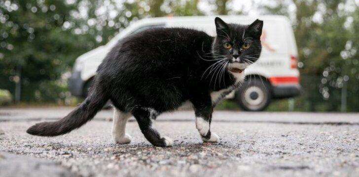 Kastruota benamė katė turi nukirptą ausies galiuką