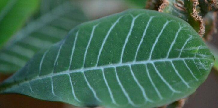 Jauni karpažolės lapai iš tiesų būna papuošti būdingomis baltomis gyslomis.
