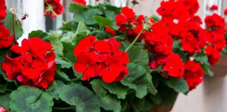 Ruoškimės: gėlių daigeliai jau greitai įsikurs lauke