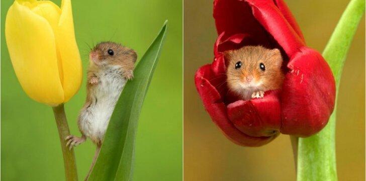 Pelės mažylės