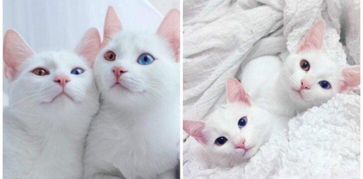 Susipažinkite: katės dvynės, vadinamos gražiausiomis pasaulyje