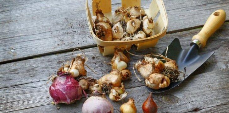 Tulpių, narcizų ir kitų svogūninių gėlių sodinimas