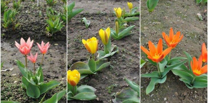 Tulpės Burbiškių dvare
