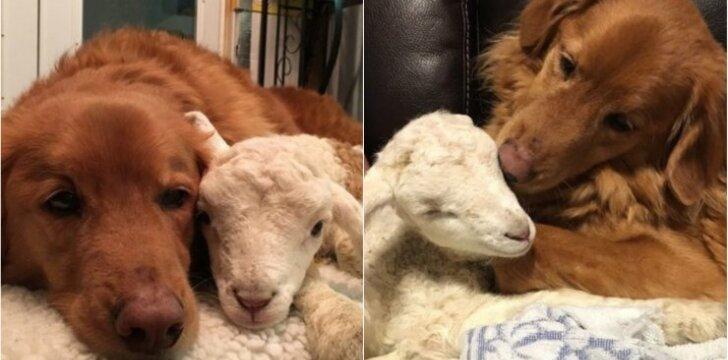 Ėriuko ir šuns draugystė