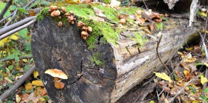 """""""Negyvas"""" medis - taip pat didelė vertybė kaip ir žaliuojantis, nes jis tampa prieglobsčiu įvairiems smulkiems gyvūnėliams, augalams bei grybams."""
