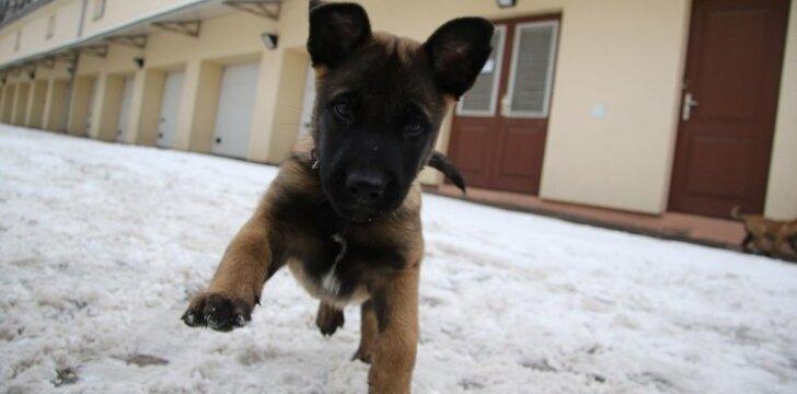 Pasieniečiai įsigijo keturis belgų aviganių šuniukus