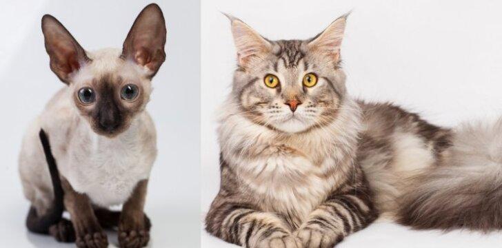 10 gražiausių kačių veislių