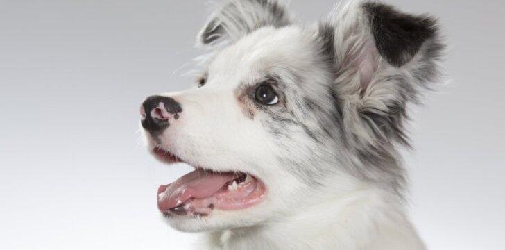 """Kurių veislių šunys <span style=""""color: #c00000;"""">patys protingiausi</span>"""
