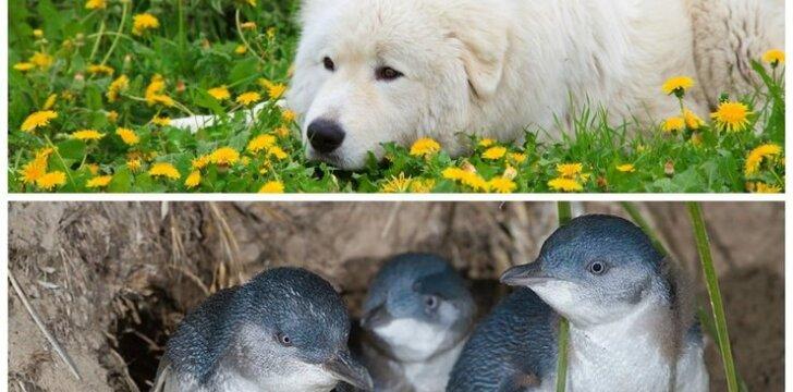 """Pingvinų šeima gali būti rami - visą parą juos saugo akylas """"apsauginis"""""""